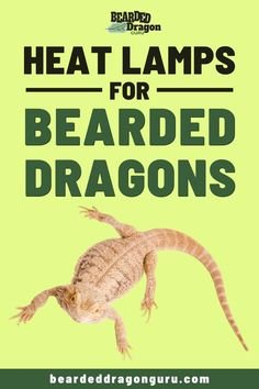 Do you know how much exposure to heat lamps bearded dragons require each day? If you want to find out then click the link to find out! Bearded Dragon Heat Lamp, Bearded Dragon Lighting, Bearded Dragon Food, Bearded Dragon Terrarium, Bearded Dragon Habitat, Bearded Dragon Supplies, Reptile Heat Lamp, Reptile Cage, Reptile Enclosure