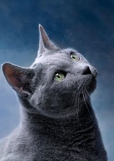 Russian Blue Cat Art Print by Nailia Schwarz - Belezza,animales , salud animal y mas Blue Cats, Grey Cats, Cat Art Print, Photo Chat, Beautiful Cats, Cat Breeds, Cat Memes, Cats And Kittens, Cats 101
