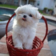 Monte is not afraid to be silly. | Community Post: Monte The Maltese Is The Cutest Puppy You'll Ever Meet