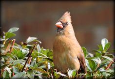 Female red cardinal.