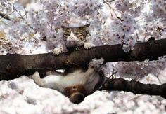 cat & cherry-blossom