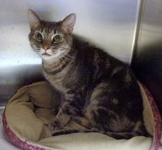 Pictures of RAZE a Domestic Shorthair for adoption in Marietta, GA who needs a loving home.