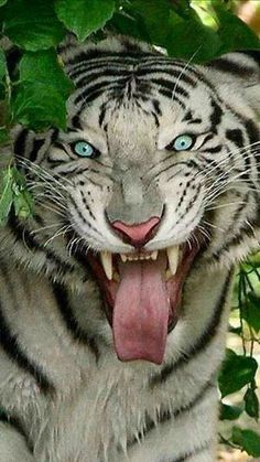 Tiger or Druid Zoo Animals, Cute Baby Animals, Animals And Pets, Wild Animals, Big Cats, Cats And Kittens, Cute Cats, Beautiful Cats, Animals Beautiful