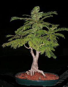 E l Jacarandá es una de las especies autóctonas que junto con el Palo Borracho y el Ombú es de las primeras que queremos hacer bonsái. De h...
