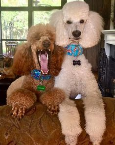 I have a poodle picture of our Molly with that big yawn. Dog Dye, Poodle Haircut, Red Poodles, Toy Puppies, Lap Dogs, Fur Babies, Dog Breeds, Cute Dogs, Standard Poodles