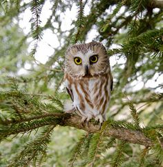 isawatree:  Northern Saw-Whet Owl by Matthew Booth