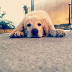 #puppy #cute #dog #hovawart