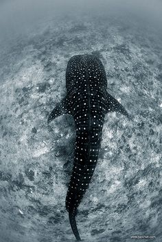 The Whale Shark is listed as a Vulnerable species. It is one of the largest fish in the world. The largest confirmed was 41.5 feet and 47,000 lbs. it's mouth can be up to 5 ft wide with 300 to 350 rows of teeth, but they primarily eat plankton. lt.