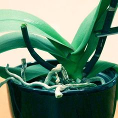 Follow these 3 steps to trigger reblooming of your orchid.