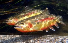 #123 Golden Trout Wind River Range, Wyoming