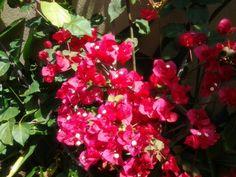 Hermosa bouganvillea en mi jardin!