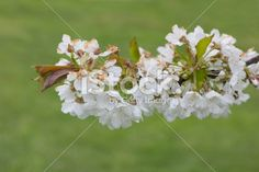 #Cherry #Blossoms @iStock #istock #ktr14 @carinzia #nature #green #spring #flowers #Color #Details #Focus #bokeh #tree #branch #outdoor #garden #Austria #carinthia #stock #photo #new #download #highres #portfolio