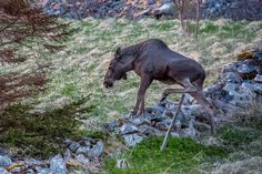 Moose in an exercise of style, Lofoten, Norway (Europe Trotter / Paris / France) #Canon EOS 5D Mark III #animals #photo #nature