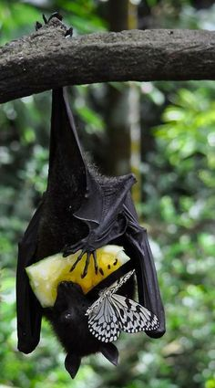 A bat and butterfly share a piece of fruit.