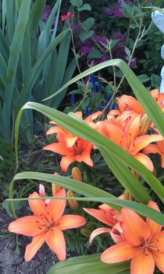 Orange Asiatic Lilies behind daylily foliage. Perennials Zone 5-6