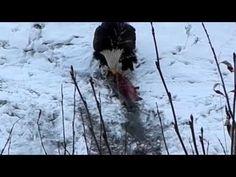 Bald Eagle Eating Salmon in Alaska   Bald Eagle Hunting   Eagle Eating   Bird - Pictures and Video of the Bald Eagles we found while in Valdez Alaska. http://www.theconstantrambler.com/bald-eagles-alaska-valdez/