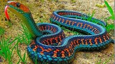 California red-sided garter snake animals HD Wallpaper