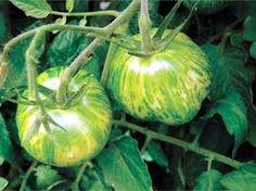 Cultivo de tomate green zebra-tigre. Tomate para ensalada | Huerto Web