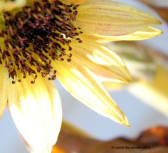 [Sunflower: This beauty was hiding under some dead leaves.]  ...  Ah!!