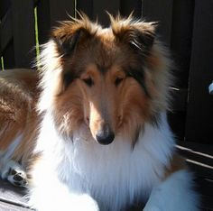 Sweet collie