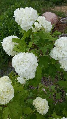 Snowball Bush My Flower, Flowers, Fast Growing, Snowball, Hydrangea, Perennials, Trees, Gardens, Vegetables