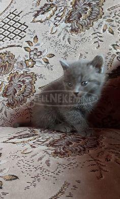 brit kék cicák Brit, Budapest, Cats, Animals, Gatos, Animales, Animaux, Kitty, Cat