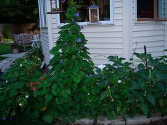Morning glory, 4 o'clocks and Angel trumpet