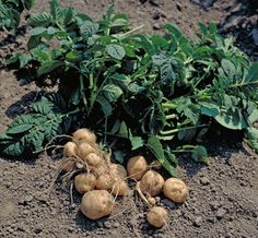 aardappels rooien poten oogsten