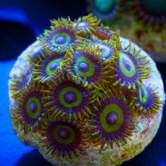 Tidal Gardens] Safe Cracker Zoanthids Reef Aquarium Live Coral