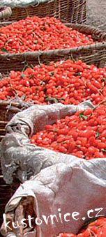 Kustovnice čínská - Goji čínská - Lycium chinense - Pěstování kustovnice