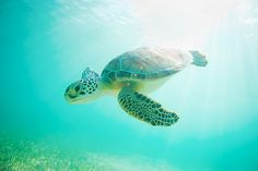 If I could swim with a sea turtle just once I'd die happy