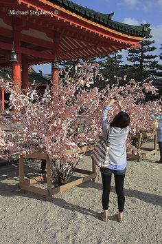 Pink omikuji trees during cherry blossom season, Heian shrine, Kyoto, Japan