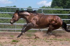 Quarter Horse stallion Tymezone