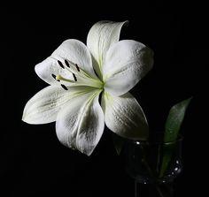 Imagen gratis en Pixabay - Lily, Lirio Blanco, Florales