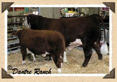 Why raise Miniature Herefords? Great information on feeding, caring for and butchering.