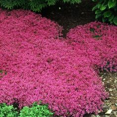 "Thymus s. coccineus  Botanical Name:  Thymus serphyllum 'Coccineus'  Common Name:  Creeping Thyme  Zone:  4,5,6,7,8  Sun Exposure:  Sun  Delivery:  See schedule  Ship Form:  1 Quart  Soil Type:  Normal, Sandy  Soil Moisture:  Dry, Average  Height x Width:  1"" X 18""  Flower Color:  Dark Pink  Foliage Color:  Fragrant Green  Bloom Season:  Early Summer"