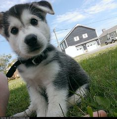 Sweetest Husky Puppy