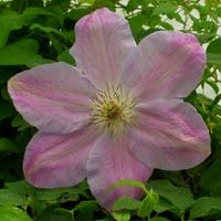 Clematis Special Occation