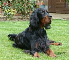 Gordon Setter ~ Classic Look & Trim Big Dogs, I Love Dogs, Dogs And Puppies, Adorable Dogs, Doggies, Animals And Pets, Funny Animals, Gordon Setter, Dogs Of The World