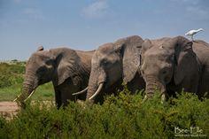 elephants feeding in the scrubland of Amboseli in Kenya