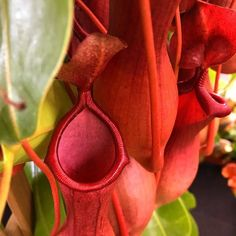 Сочные краски непентеса. Walking trough the jungle  @nepenthesjungle #nepenthes #pitcher #plants #jungle #gardening #monster #leaves #red #fly #trap #passion #hobby #nature #saturday #instagram #satisfying #beauty #carnivorousplant #plantsofinstagram #nepenthesjungle #carnivoroustagram ( # @newzealandbackpacker )  #ulsk #ульяновск #ulyanovsk #насекомоядные #exoticflora#pitcherplant #непентес #carnivorousplants