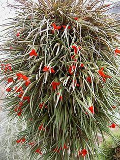 clavel del aire   Tillandsia albertiana