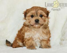 #Morkie #Charming #PinterestPuppies #PuppiesOfPinterest #Puppy #Puppies #Pups #Pup #Funloving #Sweet #PuppyLove #Cute #Cuddly #Adorable #ForTheLoveOfADog #MansBestFriend #Animals #Dog #Pet #Pets #ChildrenFriendly #PuppyandChildren #ChildandPuppy #LancasterPuppies www.LancasterPuppies.com Mans Best Friend, Best Friends, Morkie Puppies For Sale, Lancaster Puppies, Animals Dog, Feeling Lonely, Say Hello, Puppy Love, Adoption