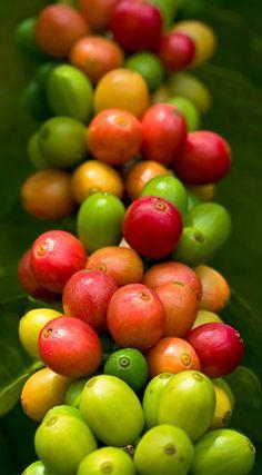 Kona coffee cherries.... Still not as good as Dunkin Donuts!! Especially at $23 a pound!! Hahahaha
