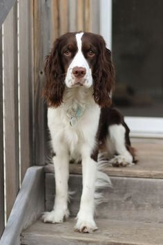 """Excellent """"cocker spaniel dog"""" detail is offered on our internet site. Check it out and you will not be sorry you did. Perro Cocker Spaniel, Spaniel Dog, Best Dogs For Families, Family Dogs, Big Family, Cute Dogs Breeds, Dog Breeds, Cute Puppies, Dogs And Puppies"""