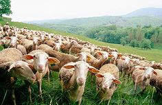 ☾ Lacaune Sheep, Roquefort area, Aveyron, France ☾