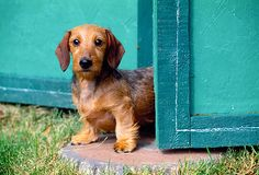 PUP 28 MA0006 01 - Miniature Wirehair Dachshund Puppy Standing In Blue Doorway - Kimballstock