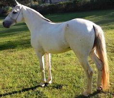 Brazil's gaited Mangalarga Marchador. Stallion Herdade Valente.
