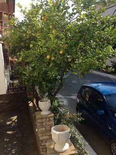 Zitronenbaum in Ireon Samos, Plants, Plant, Planets