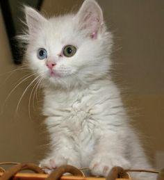 Claw Cat: Mengenal Ciri-Ciri Kucing Angorahttp://clawcat.blogspot.com/2013/10/mengenal-ciri-ciri-kucing-angora.html
